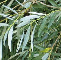 White willow - natural antiseptic